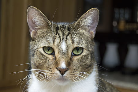 focus photography of white and black tabby cat