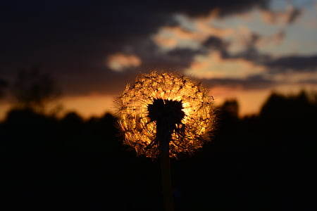 silhouette photography of dandelion under sunset