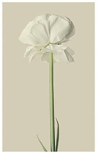closeup photography of white tulip