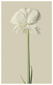 closeup photography of white tulip