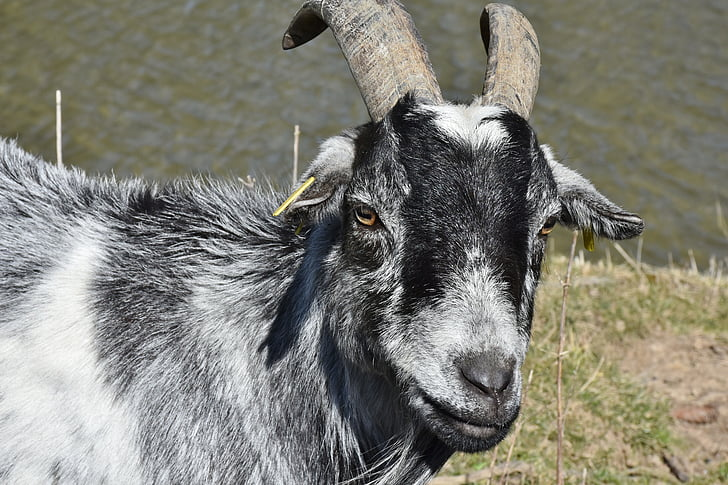 gray and white goat
