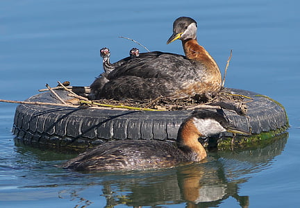closeup photography of ducks with ducklings on vehicle tire floating on water
