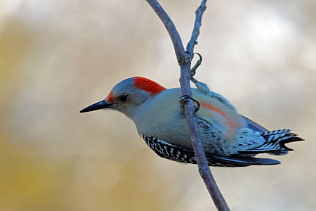 Northern flicker woodpecker perched on branch of tree