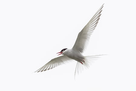 Royal tern flying under white clouds during daytime