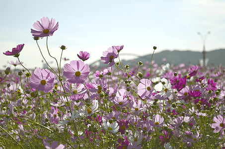 bed of purple and white cosmos flowers