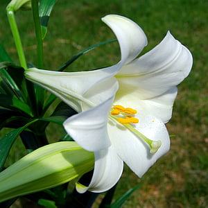 white lily flower in close up photography
