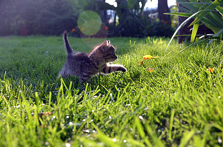 gray Tabby kitten on grasses