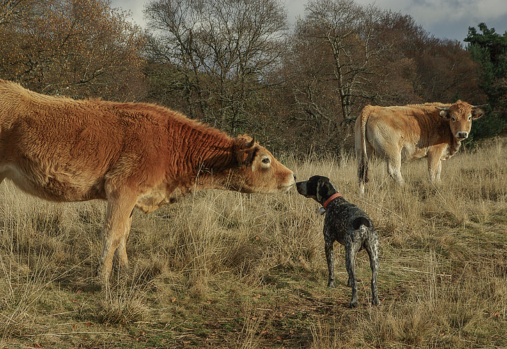 two brown cattle
