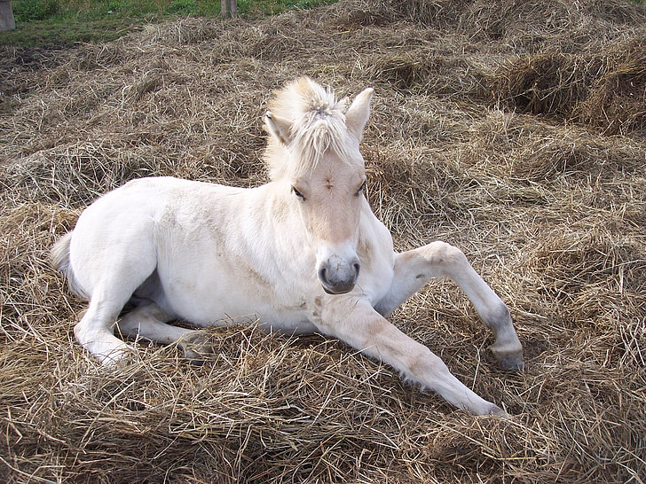 white horse lying on brown hay