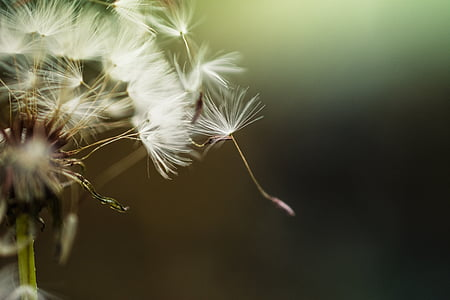 selective focus photography of dandelions