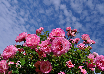 pink rose flower low-angle photography