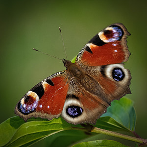 macro photo of peacock butterfly