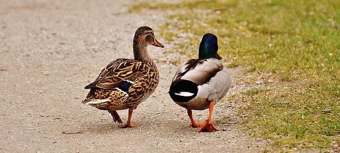 two mallard ducks walking on grass field during daytime