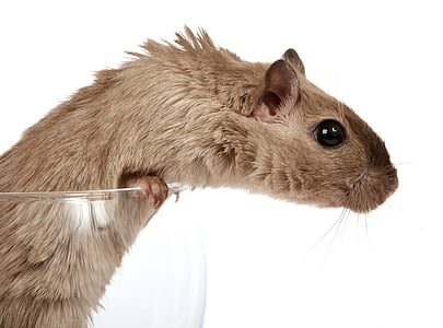 brown mouse in white background