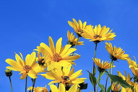 sunflowers under blue sky