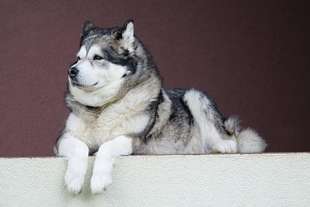 adult black and white Siberian husky
