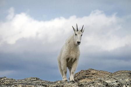 white ram goat on cliff