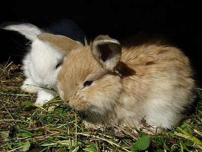 two white and brown rabbits