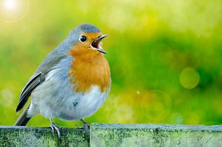 focus photography of European robin
