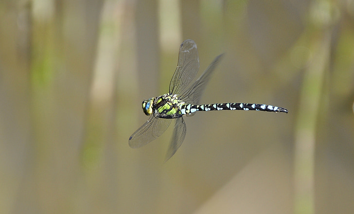 flying green and black skimmer dragonfly in close-up photography during daytime