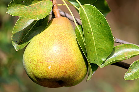 yellow pear on stem