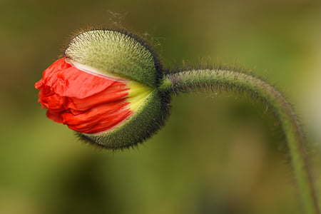 red tulip flower bud closeup photography