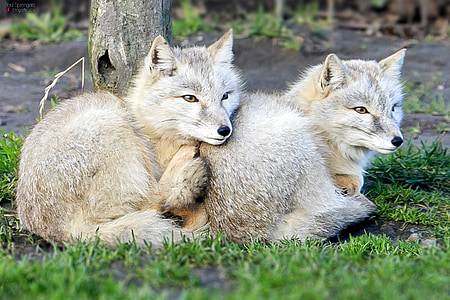 two gray wolf cubs on green lawn grass