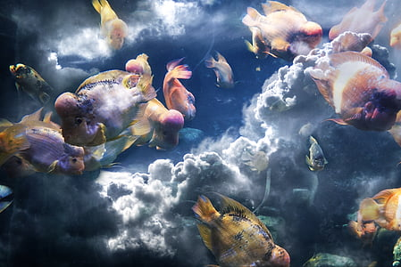 flower horn fish and clouds
