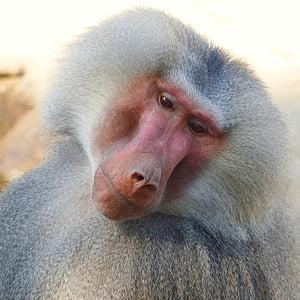 baboon leaning face sideways
