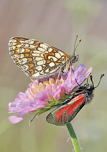 two red, brown, and gray moths perched on purple petaled flower in close-up photography