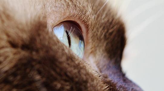 cat, eye, close, british shorthair, thoroughbred, fur