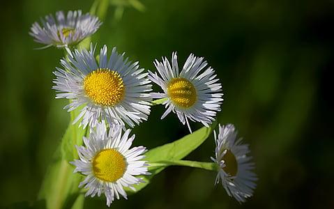 white ox-eyed daisy flower