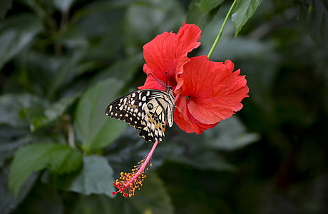 beige butterfly on red hibiscus flower