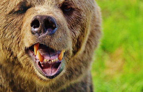 close-up photography of brown bear