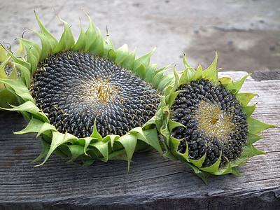 close-up photo of two green-and-gray sunflowers