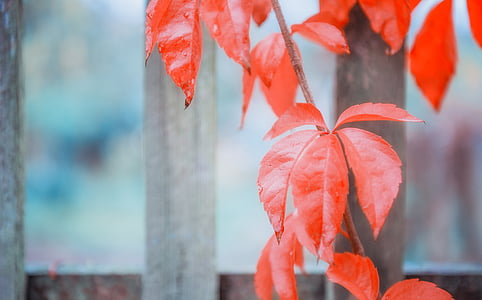 red leaf plant on brown wooden fence