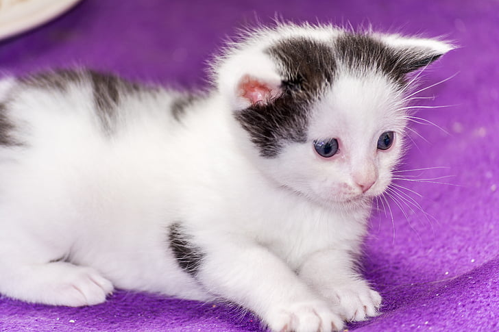 short-fur silver kitten