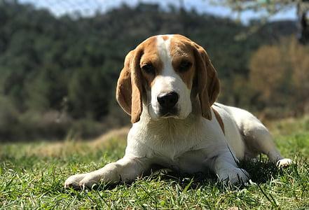 beagle laying on grass field