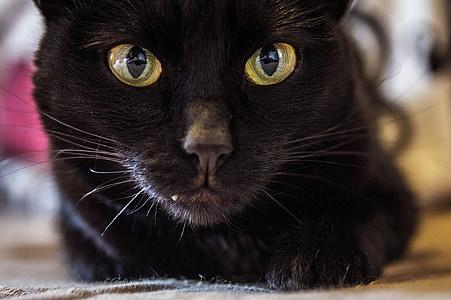 black cat closeup photography