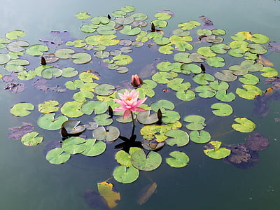 pink water lily flower on pond