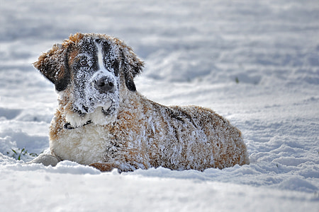 adult Saint Bernard on snow