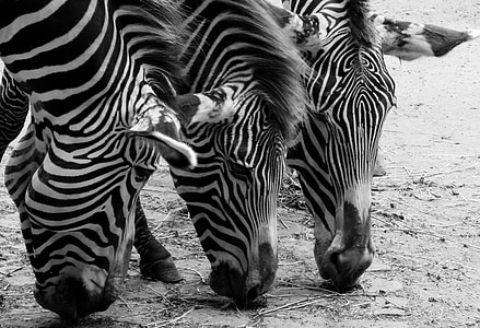 three zebras eating grass in closeup photo