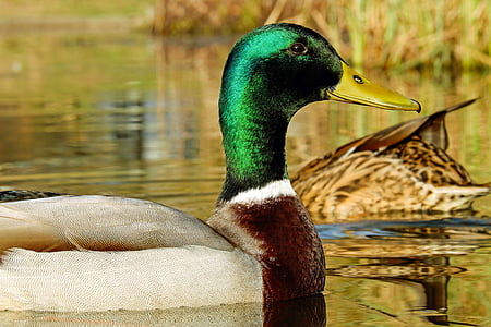 closeup photography of mallard duck