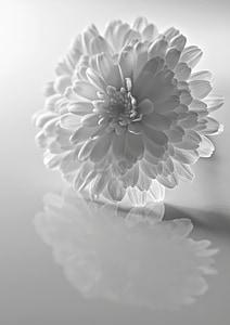 white chrysanthemum flower in closeup photo