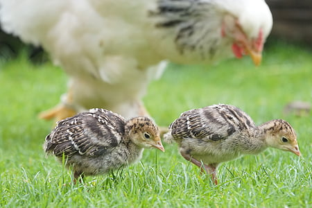 two brown chicks on green grass field