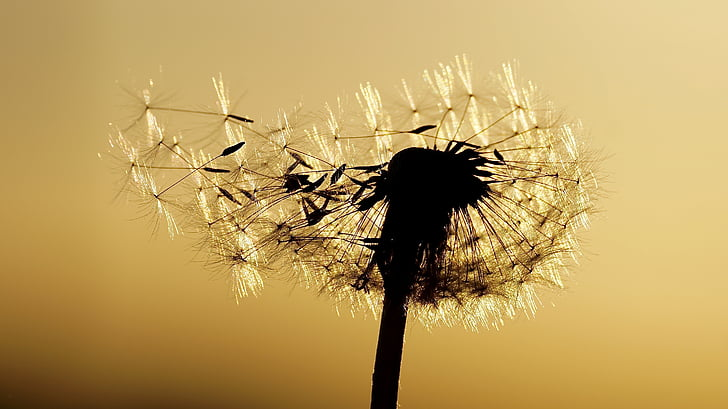 silhouette of dandelion