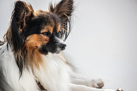 black, brown, and white Papillon dog on white background
