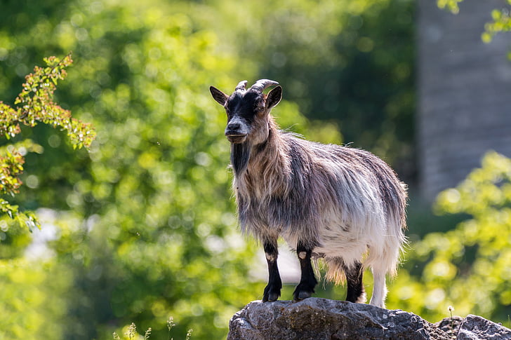 goat on top stone beside grass