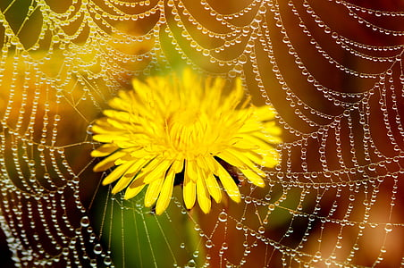 yellow dandelion flower in bloom close up photo