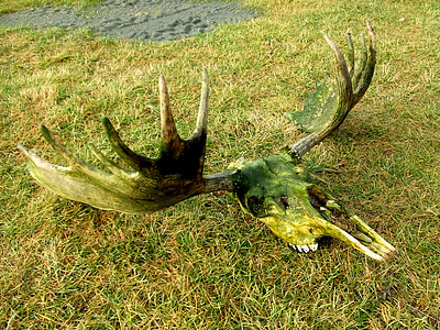 stag horn wall decor